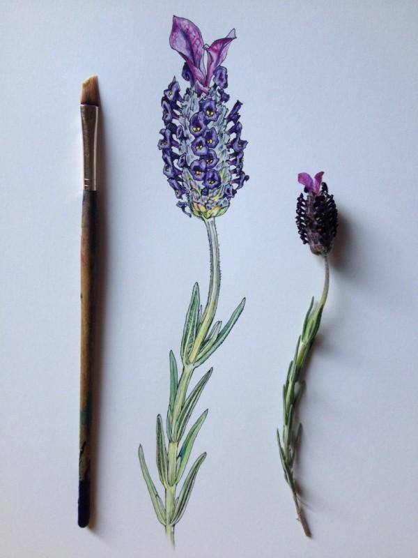 Flowers in Progress  A beautiful series of illustrations by Noel Badges Pugh (10)
