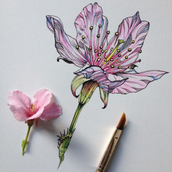 Flowers in Progress  A beautiful series of illustrations by Noel Badges Pugh (11)