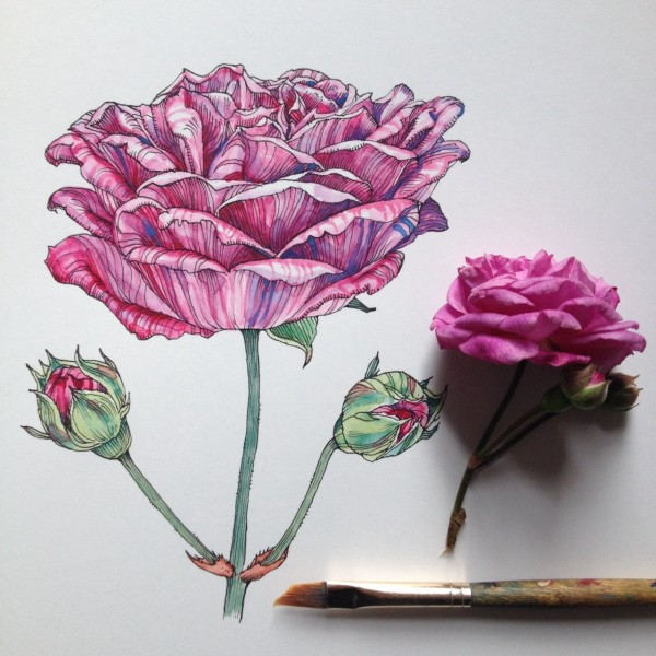 Flowers in Progress  A beautiful series of illustrations by Noel Badges Pugh (18)
